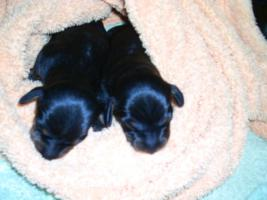 Kaninchenteckel-Kurzhaar schwarz/rot