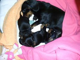 Foto 3 Kaninchenteckel-Kurzhaar schwarz/rot