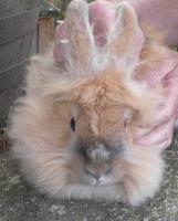 Kaninchenweibchen abzugeben