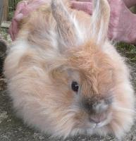 Foto 2 Kaninchenweibchen abzugeben