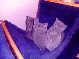 Kart�user/BKH Kitten (blau u. lilac) zu verkaufen!
