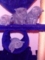 Foto 2 Kartäuser/BKH Kitten (blau u. lilac) zu verkaufen!