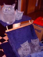 Foto 3 Kartäuser/BKH Kitten (blau u. lilac) zu verkaufen!