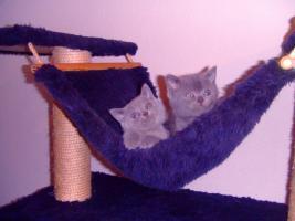 Foto 4 Kartäuser/BKH Kitten (blau u. lilac) zu verkaufen!