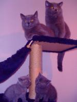 Foto 5 Kartäuser/BKH Kitten (blau u. lilac) zu verkaufen!
