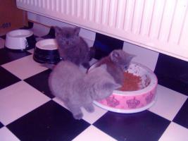 Foto 6 Kartäuser/BKH Kitten (blau u. lilac) zu verkaufen!