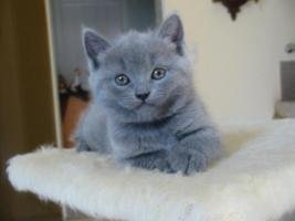Kartaeuser Chartreux Kitten