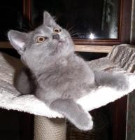 Foto 3 Kartaeuser Chartreux Kitten