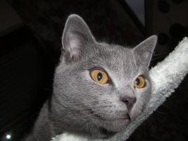 Foto 4 Kartaeuser Chartreux Kitten