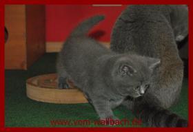 Foto 2 Kart�user Katzenm�dchen aus rein blauen Linien.