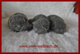 Foto 5 Kartäuser Katzenmädchen aus rein blauen Linien.