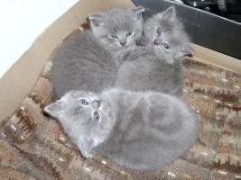 Kart�user Kitten