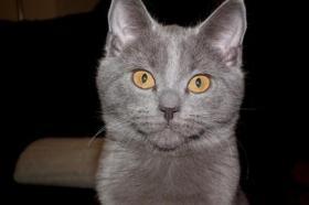 Foto 5 Kartäuserkitten, der echte Chartreux