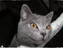 Foto 6 Kartäuserkitten, der echte Chartreux