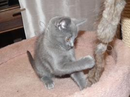Foto 2 Kartäuserkitten. Die echten Chartreuxkatzen,