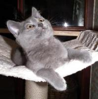Foto 3 Kartäuserkitten. Die echten Chartreuxkatzen,