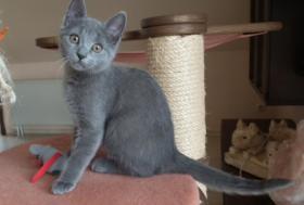 Foto 5 Kartäuserkitten. Die echten Chartreuxkatzen,