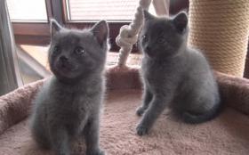 Foto 6 Kartäuserkitten. Die echten Chartreuxkatzen,