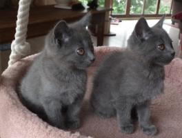 Foto 7 Kart�userkitten. Die echten Chartreuxkatzen,