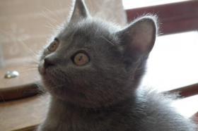 Foto 8 Kart�userkitten. Die echten Chartreuxkatzen,