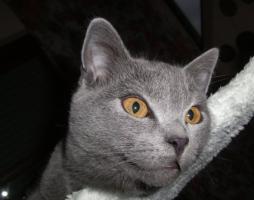 Foto 11 Kart�userkitten. Die echten Chartreuxkatzen,