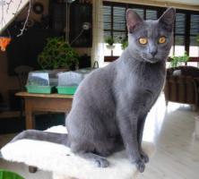 Foto 13 Kart�userkitten. Die echten Chartreuxkatzen,
