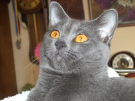 Foto 14 Kart�userkitten. Die echten Chartreuxkatzen,