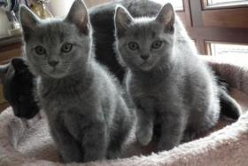Foto 15 Kart�userkitten. Die echten Chartreuxkatzen,