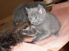 Foto 16 Kart�userkitten. Die echten Chartreuxkatzen,