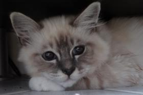 Kater Heilige Birma blaue Augen Schmuse Katze