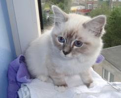 Foto 2 Kater Heilige Birma blaue Augen Schmuse Katze