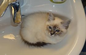 Foto 3 Kater Heilige Birma blaue Augen Schmuse Katze