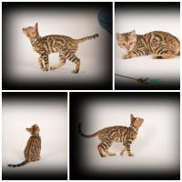 Katzen für Allergiker, 2 Bengal Mädchen Zucht o. Liebhabertier