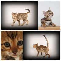 Foto 2 Katzen für Allergiker, 2 Bengal Mädchen Zucht o. Liebhabertier