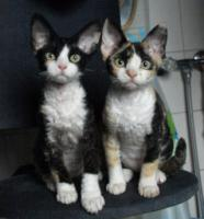 Katzenbabys für Allergiker geeignet. Lustige Kobolde suchen neuen Wirkungskreis