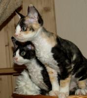 Foto 2 Katzenbabys für Allergiker geeignet. Lustige Kobolde suchen neuen Wirkungskreis