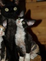 Foto 3 Katzenbabys für Allergiker geeignet. Lustige Kobolde suchen neuen Wirkungskreis