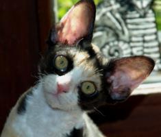 Foto 4 Katzenbabys für Allergiker geeignet. Lustige Kobolde suchen neuen Wirkungskreis