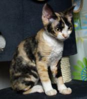 Foto 5 Katzenbabys für Allergiker geeignet. Lustige Kobolde suchen neuen Wirkungskreis