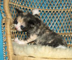 Foto 6 Katzenbabys für Allergiker geeignet. Lustige Kobolde suchen neuen Wirkungskreis