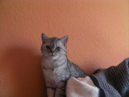 Katzenbabys Karthäuser