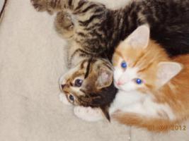 Foto 3 Katzenbabys zu Verkaufen