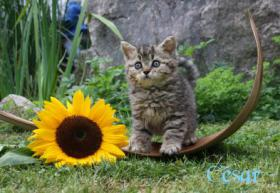 Foto 4 Katzenbabys, Selkirk Rex