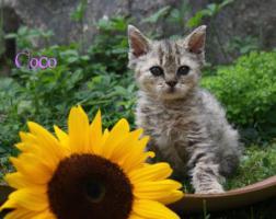 Foto 5 Katzenbabys, Selkirk Rex