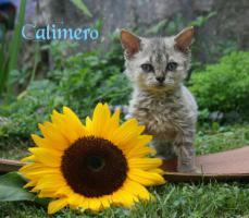 Foto 6 Katzenbabys, Selkirk Rex