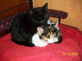 Katzengirly aus liebev.gepflegter Hobbyzucht