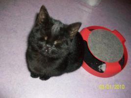 Foto 2 Katzengirly aus liebev.gepflegter Hobbyzucht