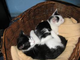 Foto 4 Katzenkinder suchen neuen Dosenöffner