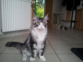 Foto 4 Katzenpflegestelle hat Katzen unterschiedlichen Alters abzugeben