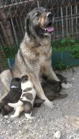 Foto 5 Kaukasenwelpe zu Verkaufen!!!